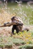 capuchin покрынный чернотой Стоковое Изображение