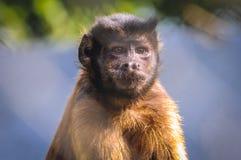 Capuchin покрытый чернотой Стоковое Фото