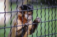 Capuchin покрытый чернотой Стоковые Фото