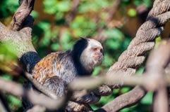 Capuchin сидя на веревочке, связанной на деревьях, и ослабляя на зоологическом парке стоковая фотография