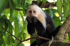 capuchin смотрел на белизну Стоковые Изображения