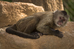 Capuchin Stock Photography