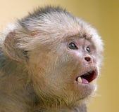 capuchin 3 противостоял белизну Стоковые Изображения RF