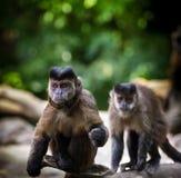 Capuchin Lizenzfreie Stockfotos