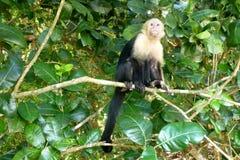 Capuchin Στοκ Εικόνες