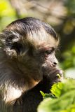 Capuchin Stock Foto