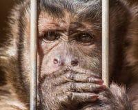 Capuchin aap Royalty-vrije Stock Afbeeldingen