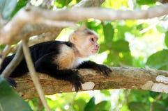 Capuchin aap in de boom - wat daar gebeurde - Costa Rica stock foto