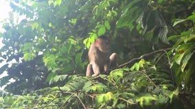 Capuchin aap die over een tak in tropisch regenwoud lopen stock footage