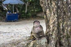 Capuchin aap in Misahualli, Ecuador Royalty-vrije Stock Foto's