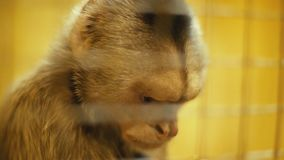 Capuchin aapportret stock video