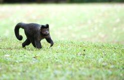 Capuchin adornado Imagem de Stock