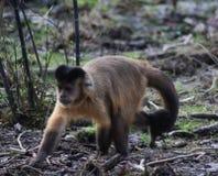 Capuchin adornado foto de stock