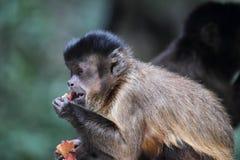 Capuchin adornado (apella de Cebus) Fotografia de Stock
