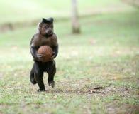 Capuchin adornado com um coco Fotografia de Stock