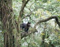 Capuchin adornado em uma árvore Fotos de Stock