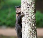 Capuchin adornado em uma árvore Imagem de Stock