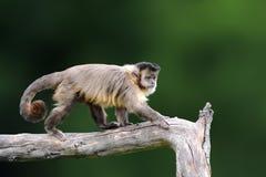 Capuchin, Affe, der auf dem Baumast in den dunklen Tropen f sitzt Stockfoto