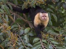 Capuchin affrontato bianco Immagine Stock