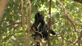 Capuchin apen stock footage