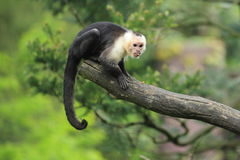 capuchin Bianco-throated Immagini Stock Libere da Diritti