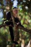 The Capuchin on a branch. Royalty Free Stock Images