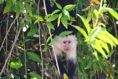 capuchin Branco-dirigido, olhos brilhantes Foto de Stock