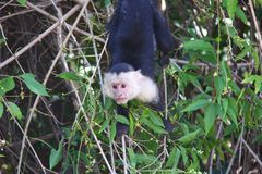 capuchin Branco-dirigido, pendurando Imagem de Stock Royalty Free