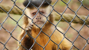 Capuchin in a cage Stock Photo