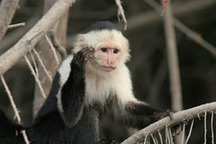 capuchin costa stawiał czoło rica biel obraz royalty free