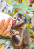 The Capuchin cubs drinking milk Royalty Free Stock Photo