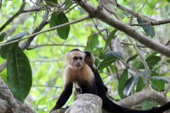 Capuchin. Female capuchin with her baby. Picture from the Parc Manuel Antonio in Costa-Rica Royalty Free Stock Images