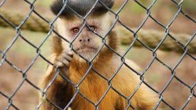 Capuchin i en bur Arkivfoto