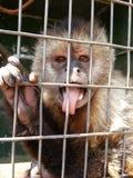 Capuchin małpa obraz royalty free