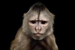 Capuchin małpa fotografia royalty free