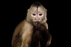 Capuchin małpa obrazy royalty free
