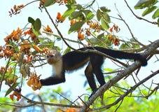 Capuchin małpa Zdjęcia Stock