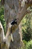 Capuchin małpa w drzewie Obrazy Royalty Free
