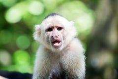 Capuchin mit Hirsekornpelz Stockbild