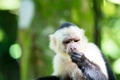 Capuchin mit Hirsekornpelz Stockfoto