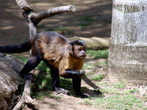 Capuchin Monkey Royalty Free Stock Photos