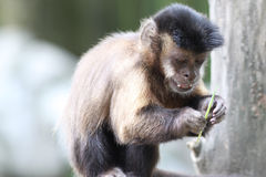 Capuchin Monkey Stock Images