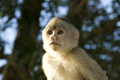 Capuchin monkey Royalty Free Stock Images
