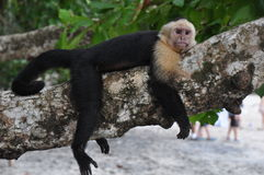 Capuchin monkey. Taking it easy stock images