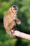 Capuchin monkey Royalty Free Stock Image