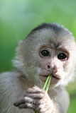 Capuchin Monkey Stock Image