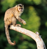Capuchin monkey Stock Photography