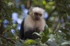 Capuchin Monkey. In tree in Nicaragua Stock Photo