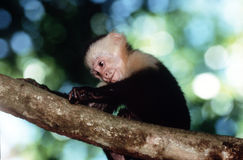 Capuchin monkey. White faced capuchin monkey searching for food royalty free stock photography