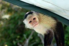 Capuchin monkey. A small capuchin monkey peeking in a window royalty free stock image